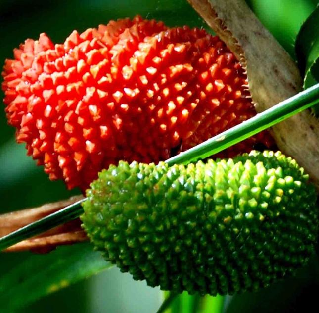 Klima Amazonas gut für  Raupen